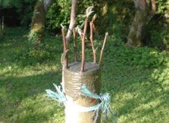 Stage de greffe des arbres fruitiers
